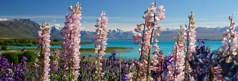 Neuseeland Lupinen Lake Tekapo milchblau