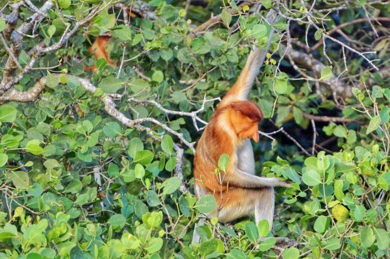 Nasenaffe in den Mangroven am Santubong River
