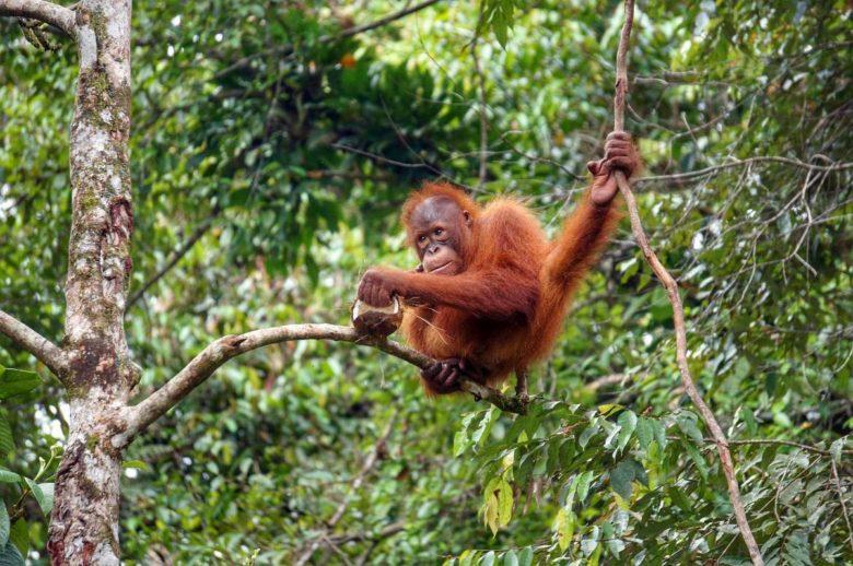 Orang-Utan im Semenggho Nature Reserve - Borneo