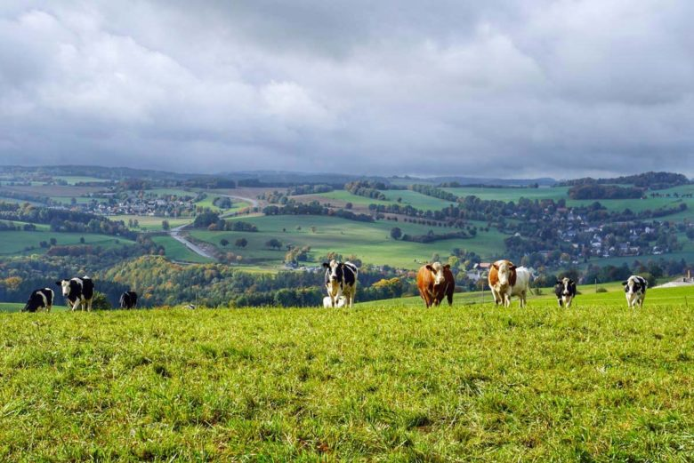 Erzgebirge Landschaft mit Kühen