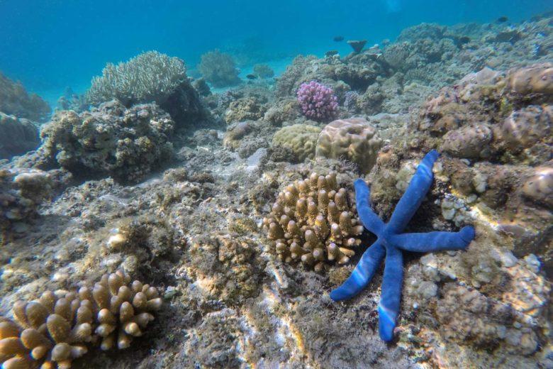 Komodo-Trip blauer Seestern