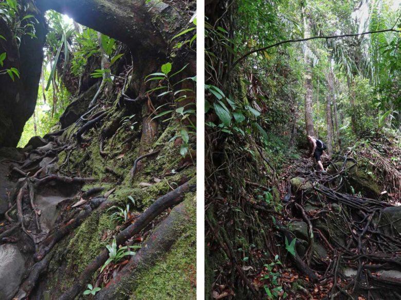 Wandern über Wurzeln im Bako Nationalpark