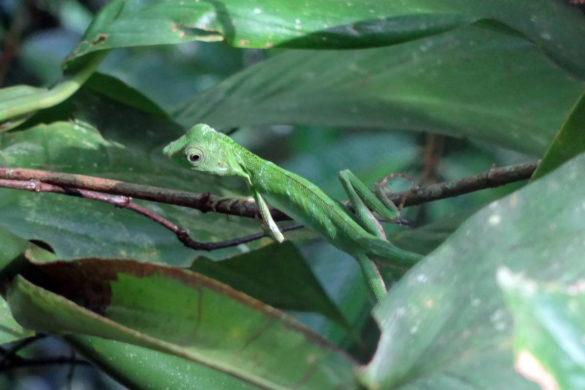grüne Echse im Mulu Nationalpark