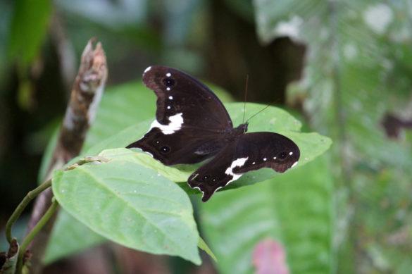 Mulu Nationalpark Schmetterling
