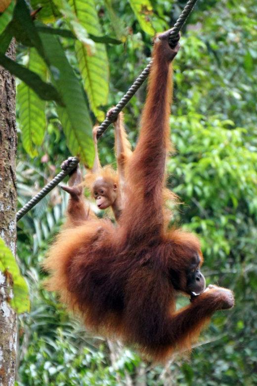 Orang-Utans im Semenggho Nature Reserve