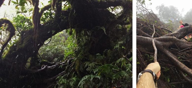 Trekking Vulkan Maderas - klettern über Wurzeln