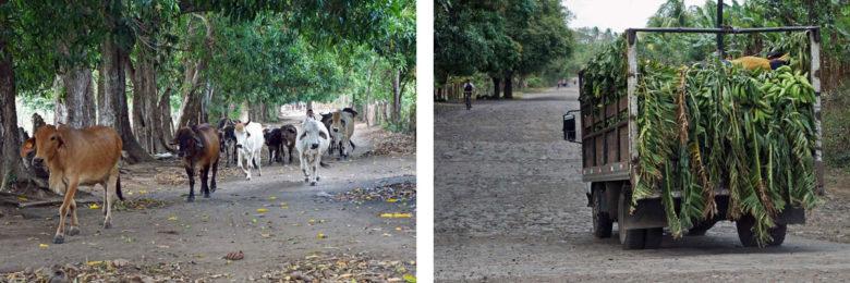 Viehzucht und Bananenlaster auf Ometepe