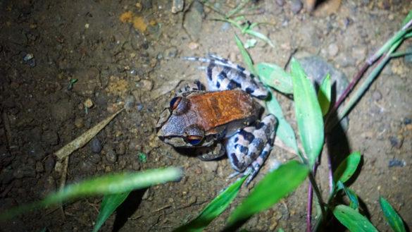 Frosch im Corcovado Nationalpark