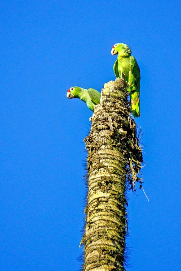 Corcovado - Amazonen auf Palme