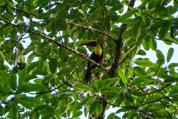 Tukan im Baum - Corcovado Nationalpark