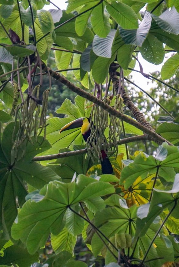 Tukan in Costa Rica - Corcovado Nationalpark