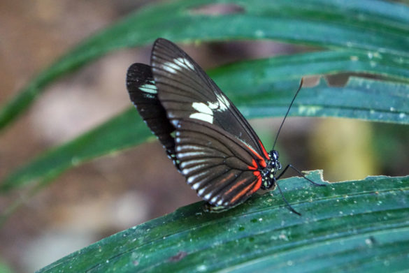 Schmetterling im Corcovado Nationalpark