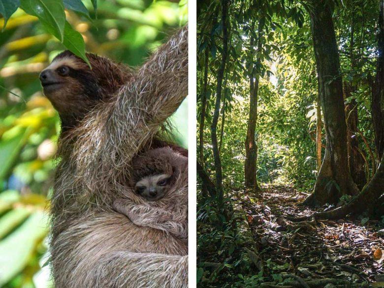 Faultiere im Regenwald in Costa Rica
