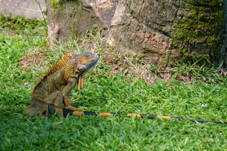 Leguane im Park in La Fortuna