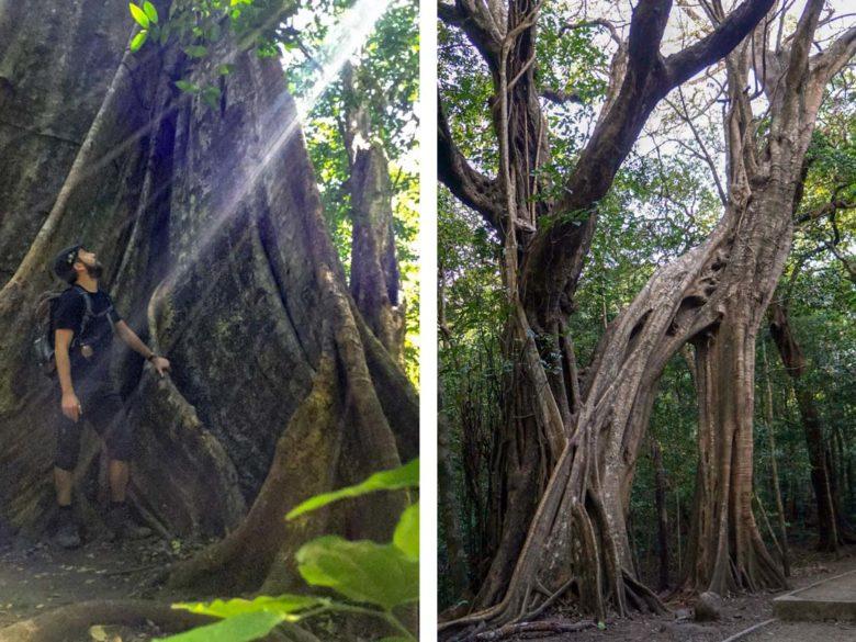 Urwladriesen im Rincon de la Vieja Nationalpark