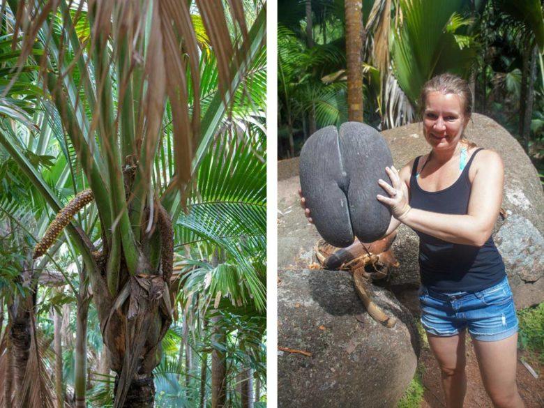 Coco de Mer Palme auf Praslin