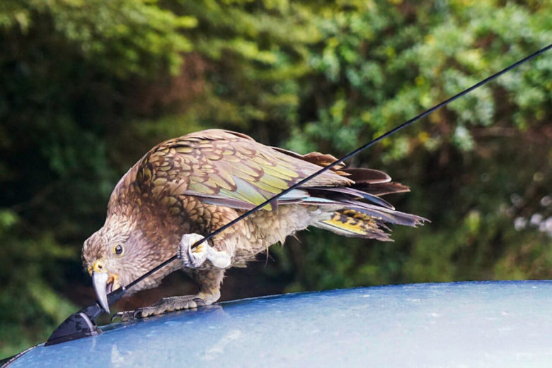 Kea an Antenne Milford Road