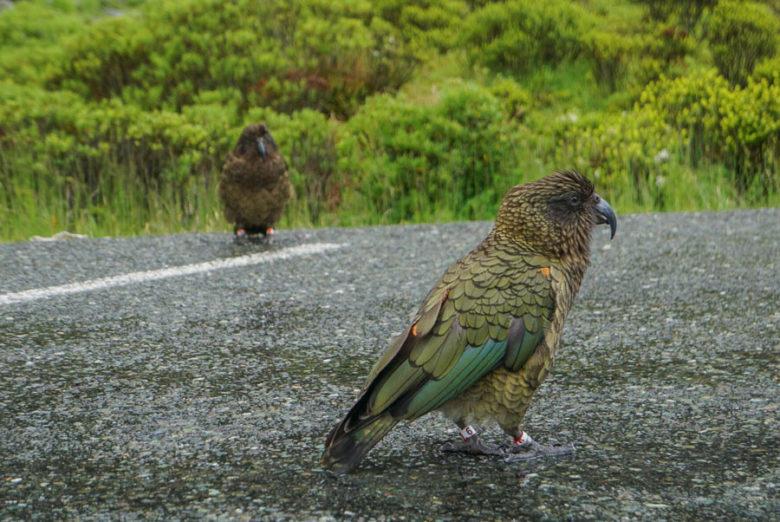 Kea Papagei Neuseeland Südinsel