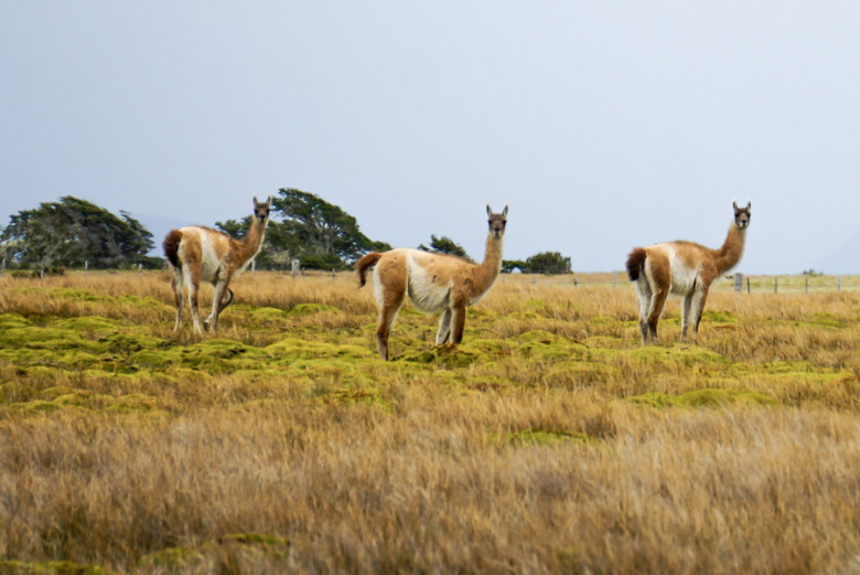 scheue Guanakos in Patagonien
