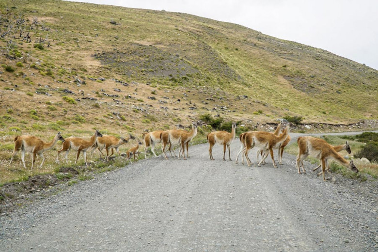 Patagonien - Guanakos
