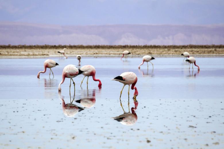 Flamingos Atacama Wüste