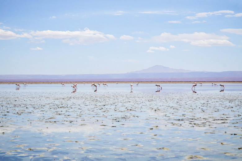 Flamingos Laguna Chaxa