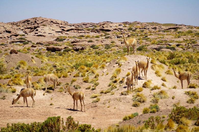 Vicunas auf dem Altiplano Atacama