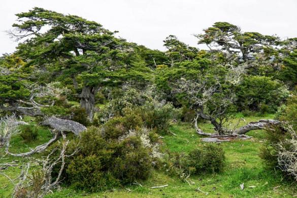 Chile Feuerland knorrige Südbuchen