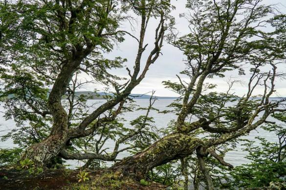 Chile Feuerland Lago Blanco Lengabäume