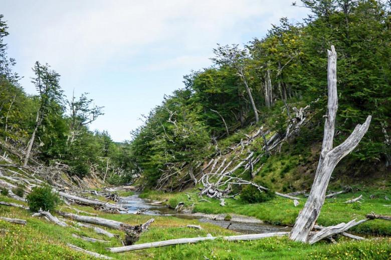 Chile Feuerland Vegetation Biber