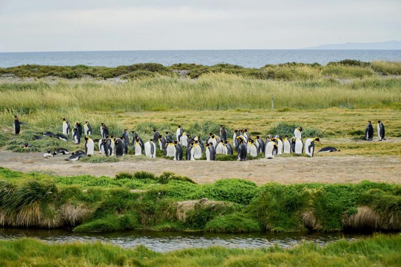 Königspinguine im Parque Pingüino Rey