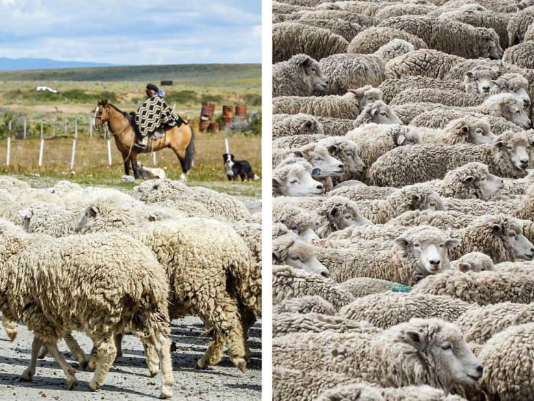 Gaucho beim Schafabtrieb