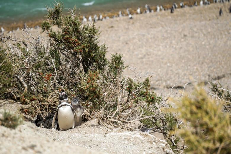 Pinguine Monte Leon Argentinien