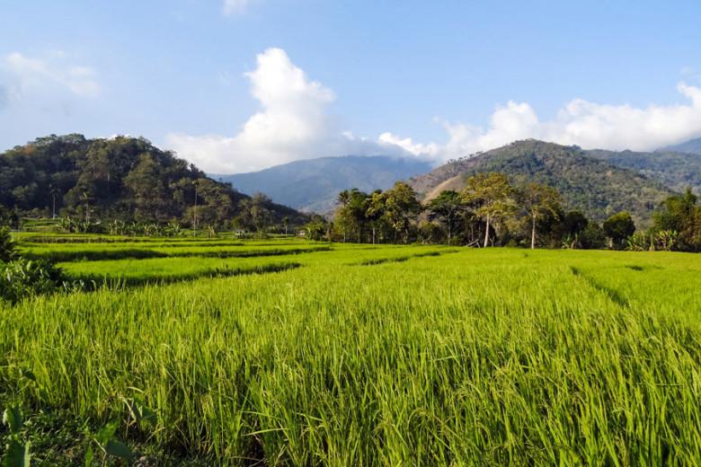 Flores Indonesien Reisfelder
