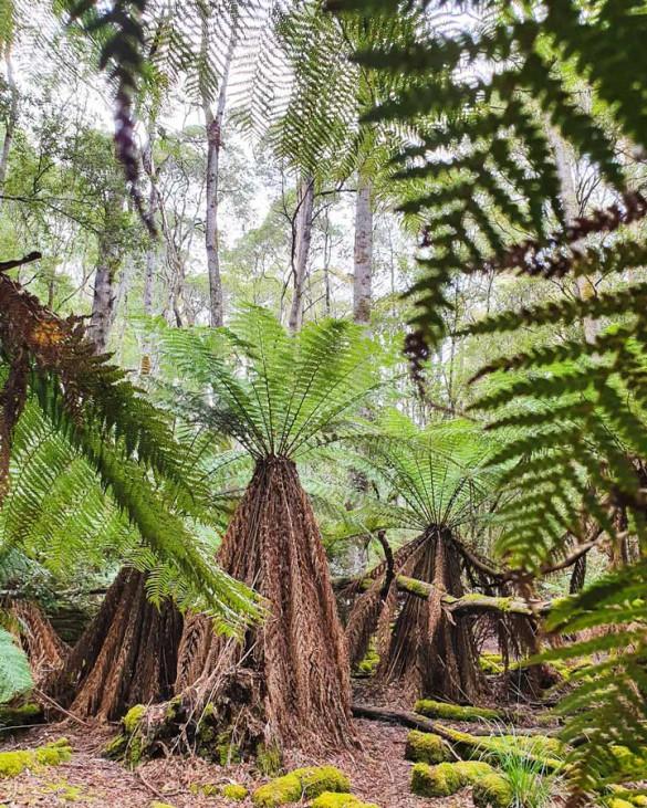 Baumfarne in Tasmanien