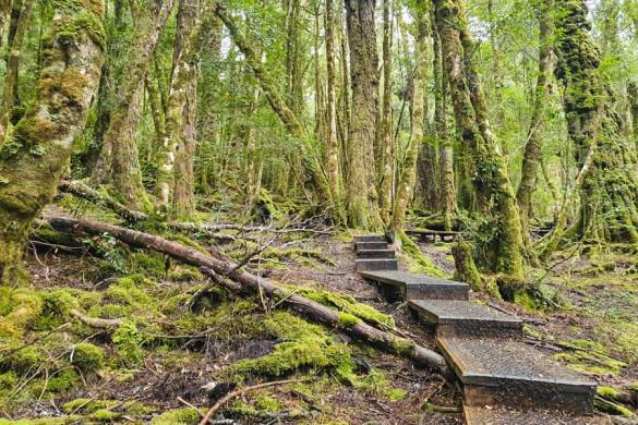 Mystischer Wald in Tasmanien