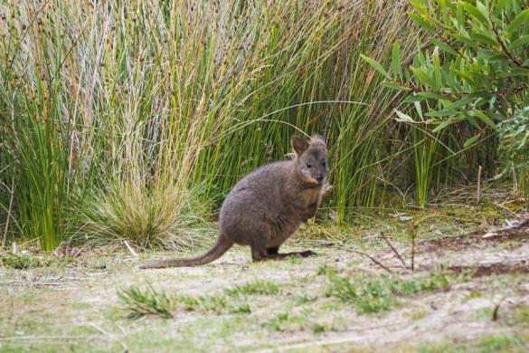 Pademelons in Tasmanien
