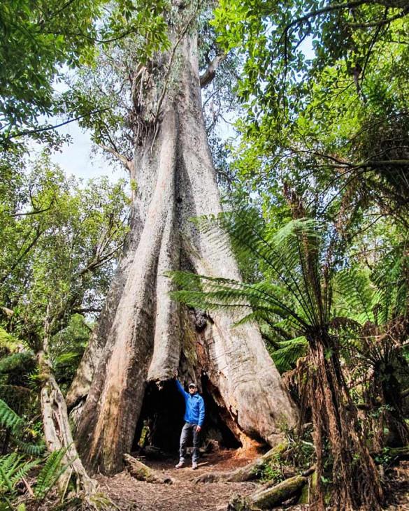 Baumriesen in Tasmanien