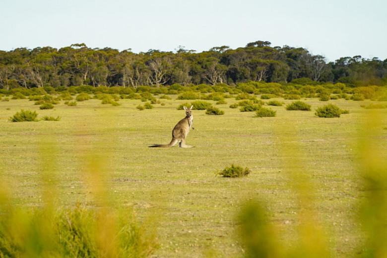 Forester Känguru